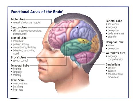 blood flow to the brain picture 3