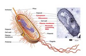 Bacterial cell image picture 6