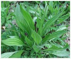 ribwort plantain picture 5