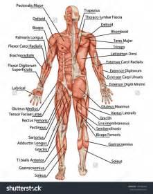 anatomy - muscle man kikkerland picture 6