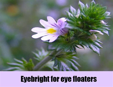 eyebright herbal remedy picture 3
