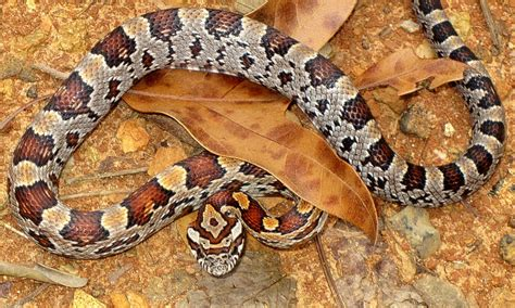 loss of appee in corn snakes picture 7
