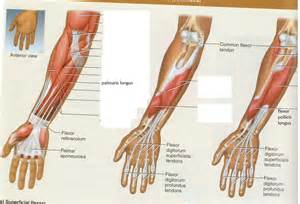 flexor pollicis longus muscle picture 7