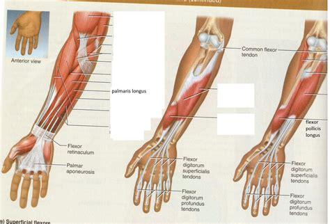 flexor pollicis longus muscle picture 2