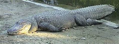 number of h alligators have picture 9