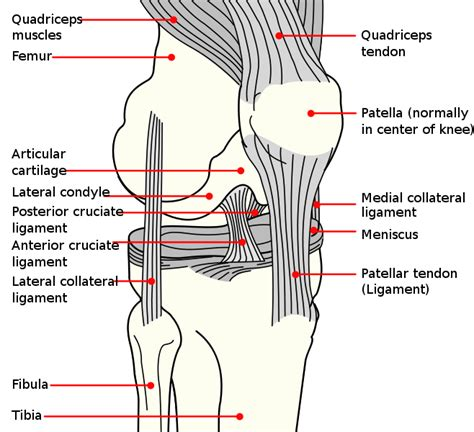 pictures of ligaments knee joint picture 3