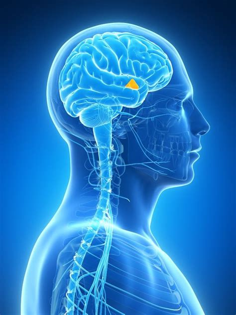 pituitary body picture 1