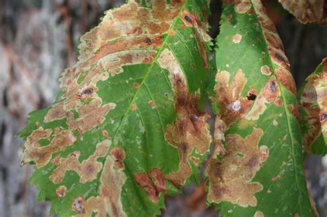 bacterial diseases in plants picture 2
