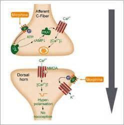 what supplement binds to opiate receptors picture 5