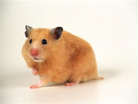 hamster videos picture 15