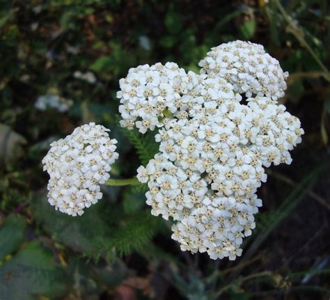 white yarrow flower essence canada picture 1