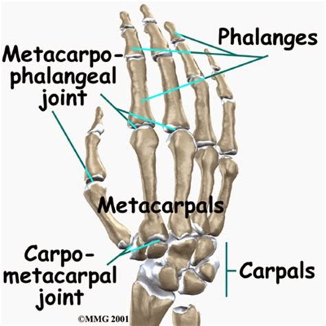 metacarpal phalangeal joint measurement picture 1