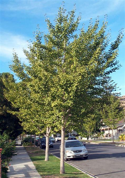 ginkgo biloba tree picture 6