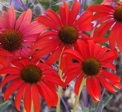 echinacea coconut lime uk picture 10