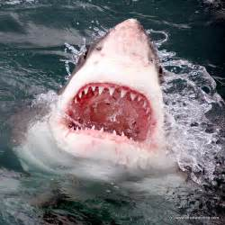 how many h does a greatwhite have picture 1