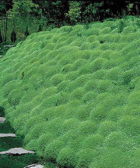 white irish moss picture 7