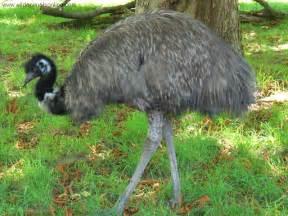 australian dream or blue emu better picture 8