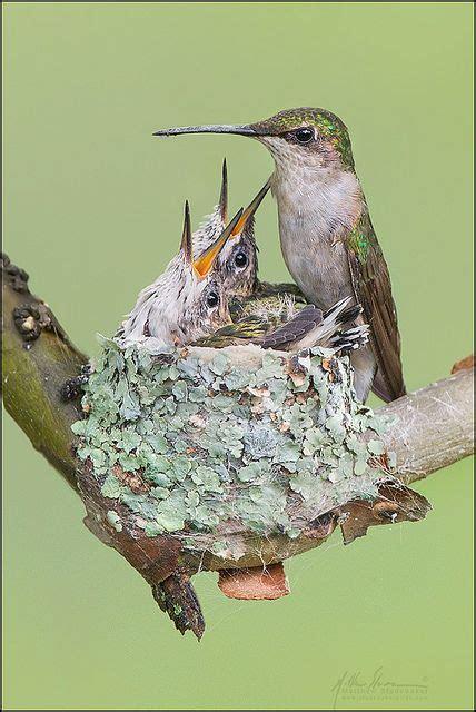 baby hummingbird diet picture 11
