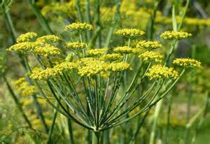 fennel picture 18