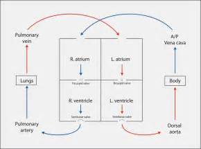 diagram blood flow through heart picture 13