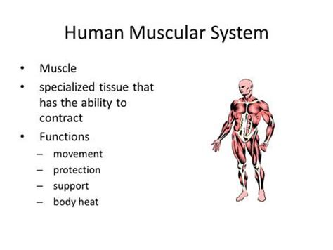 functions of muscle system picture 17