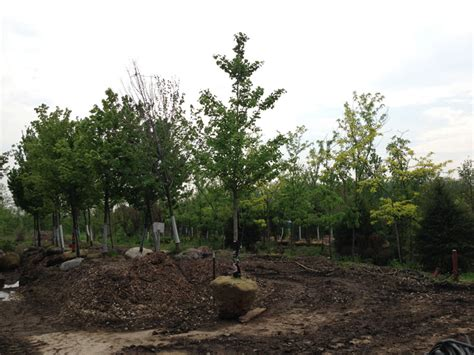 buy male ginkgo tree picture 11