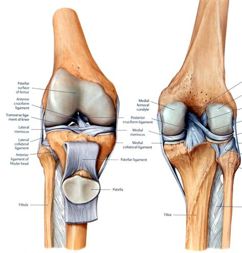 pictures of ligaments knee joint picture 9