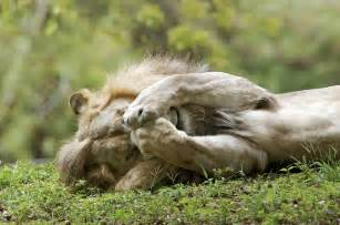 a lion sleeping picture 7
