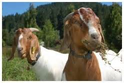 bacterial infections in goats picture 10