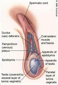 unerected penis picture 1