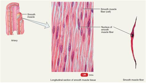 are smooth muscle multinucleated and spindled picture 4