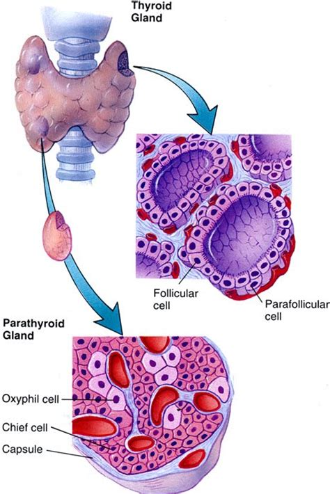 c cells upper pole of thyroid picture 5