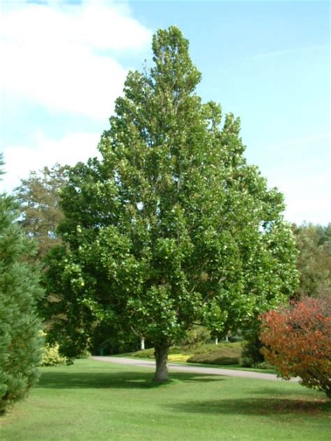what can you use ginkgo biloba picture 5