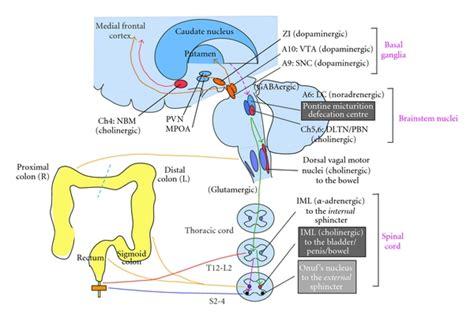 colon nerve problems picture 5