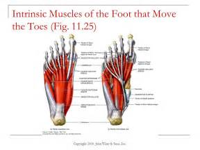 intrinsic muscle disease of the foot and ankle picture 1