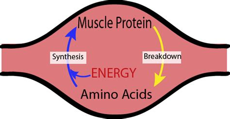 amino acid used to muscle workout picture 2