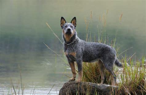 austrailian cattle dog diet picture 6