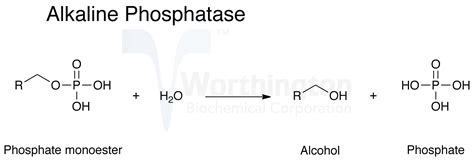 intestinal alkaline phosphotase picture 1