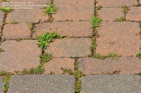stop weeds growing between pavers picture 1