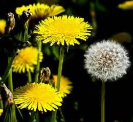 a dandelion picture 5
