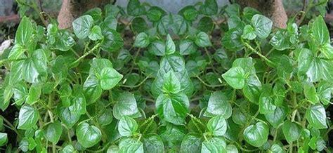 herbal medicine bato sa apdo picture 3