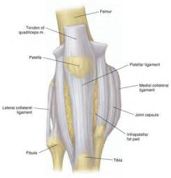 pictures of ligaments knee joint picture 1