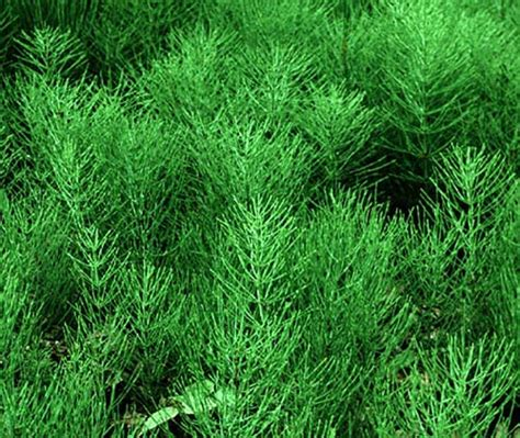Horsetail Herb picture 3