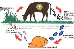 liver fluke cycle picture 1