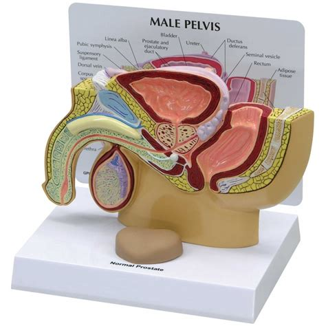 Where is the prostate picture 7