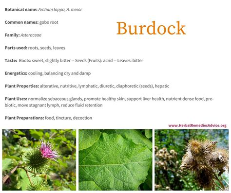 how to make burdock tea for garden use picture 5