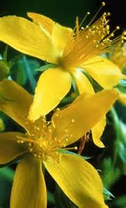 St johns wort high blood pressure picture 6