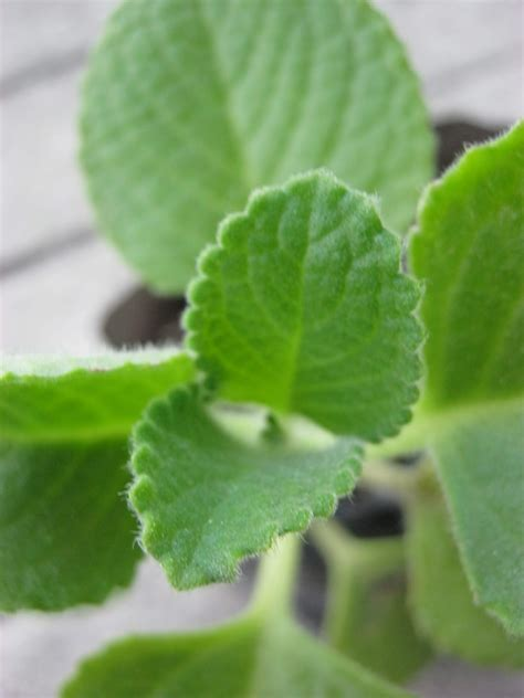 what plants and herbs act like opiates picture 10