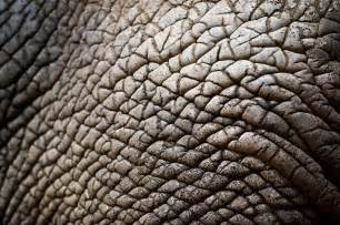 elephanis human skin picture 3
