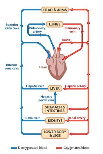 flowcharts of blood circulation picture 2